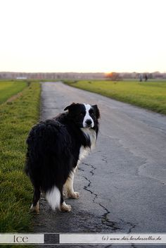 The old man and his slower Dog - Border Collie, ICE.