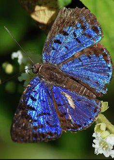 Butterfly Menander Menander