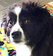 English Springer Spaniel dog for Adoption in Shakopee, MN. ADN-533627 on PuppyFinder.com Gender: Female. Age: Adult