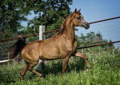 RH Majika (Hukam Maj x RH Sahara Cytrine) chestnut mare bred by Robin Hood Farms, Illinois