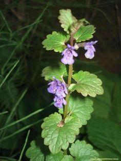 Popenec obecný, Glechoma hederacea L. – Výskyt: Zádušník brečtanovitý je trváca bylinka, patrí k našim najmladším li ečivým rastlinám. Objavenie jeho liečivých účinkov sa datuje od 12. storočia a v Európe sa šíril pod názvom švajčiarsky čaj. Možno ho tak považovať za jednu z rýdzo slovanských bylín. Nájsť ho môžete aj v lesoch, krovinách, pri plotoch …