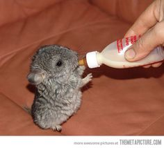 A baby chinchilla!! It is so FRICKEN CUTE!!!!!!!!!!!!! It can have anything it wants! lol I want to cuddle with it so bad!!!!!!!
