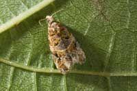 Adult female European grapevine moth (Lobesia botrana) invasive species