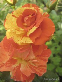 'Oranges and Lemons'   Floribunda Rose.McGredy New Zealand, 1992