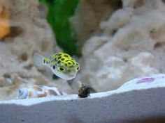 skeletons puffer fish tetraodony the largest genus and