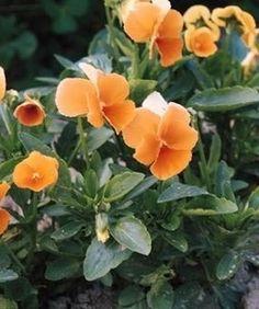 Pase Seeds - Viola Cornuta Chantreyland Perennial Seeds, $3.29 (http://www.paseseeds.com/viola-cornuta-chantreyland-perennial-seeds/)
