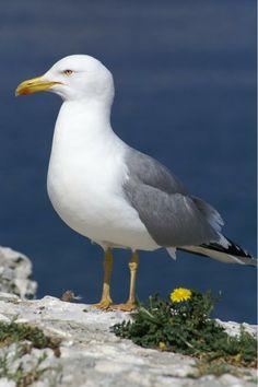 Parmi les oiseaux marins, le Goéland leucophée, communément appelé « Gabian » dans la région marseillaise, voit ses effectifs se stabiliser.