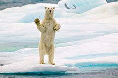 Svalbard Islands JW8HGA Polar Bear