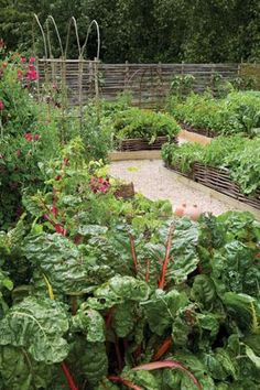 Farm:  Plants for a #potager. #Rainbow #Chard, shown in the foreground, growing at Perch Hill.