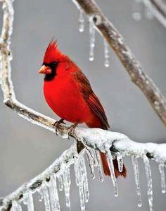 Northern Cardinal (Cardinalis cardinalis) during an ice storm