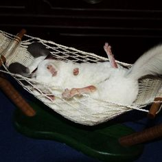 OMG this chinchilla is chinchillin' in a hammock AND wearing sunglasses.