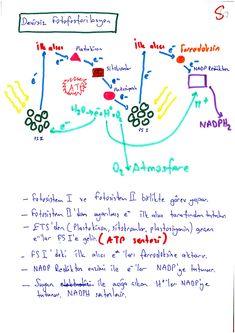 sanalbiyoloji Fotosentez-3 Biology, Language, Notes, Study, Science, Journal, School, Report Cards, Studio