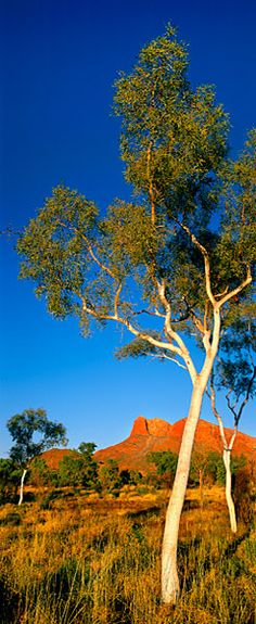 Beautiful landscape with eucalyptus trees in the Northern Territory. Nature Landscape, Landscape Photos, Landscape Paintings, Landscape Photography, Nature Photography, Travel Photography, Australian Desert, Australian Plants, Australian Animals