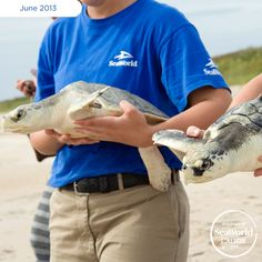 When these two Kemp's ridley sea turtles began showing signs of cold stress, the U.S. Coast Guard transported them to SeaWorld for rehabilitation. After several months of care, they are healthy and heading back out to sea! #365DaysOfRescue