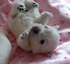 Westie puppies look like baby polar bears! Westie Puppies, Baby Puppies, Westies, Cute Puppies, Cute Dogs, Doggies, Chihuahua Dogs, Bear Puppy, Bichons