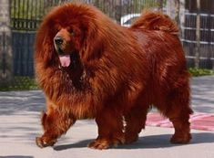 Mastiff-Tibetano