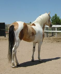 Calico Tobiano Pinto | Equine Color Genetics: probably not a chimera, the gene that creates the palomino or buckskin (dilution of chestnut or bay) gets switched off in certain spots, creating the darker patches in this pinto. This one is a buckskin pinto, buckskin is a dilute of bay (brown with black points), we have the white patches, and the loss of the dilution in spots (bay); a four color pinto.