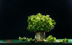 Alface Crespa - Verde - Foto: Marion Rupp