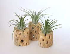 Air Plants in Rustic Cholla Wood Set of Three by WilliamsGrove