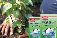 9 idei minunate de folosire a bicarbonatului de sodiu în grădină! Nu vei mai renunța la el după ce vei citi asta... - Secretele.com Growing Vegetables, Permaculture, Houseplants, Vegetable Garden, Good To Know, Baking Soda, Diy And Crafts, Backyard, Cleaning