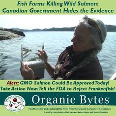 Organic Bytes #376 4/25/2013: Exposed: Why You Should Boycott Farmed Salmon