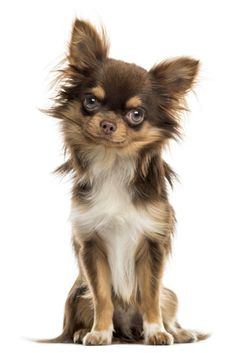 Chihuahua sitting, looking at the camera, isolated on whit sitting, looking at the camera, isolated on white Long Haired Chihuahua Puppies, Brown Chihuahua, Baby Chihuahua, Baby Puppies, Yorkie, Hamsters As Pets, Chihuahuas, Animals Beautiful, Cute Animals