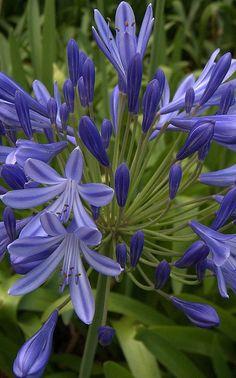 Plante pour terrasses et petits jardins : Agapanthus umbellatus 'Blue' - Agapanthe bleue d'Afrique