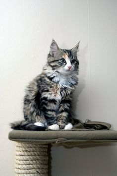 maine coon kitten on top of a scratching post