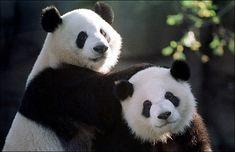 Google Image Result for http://www.wonkette.com/politics/pandas.jpg