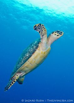 ✯ Hawksbill sea turtle underwater photo by TheLivingSea.com ✯