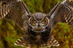 WOW.  Great horned owl (Bubo virginianus), Alaska Wildlife Foundation, Ketchikan, Alaska, by Blaine Harrington