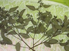 Natural Air Dried Seeded Eucalyptus for by CountrySquirrelsNest, $5.00