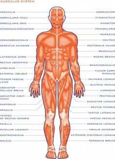 Organ system of human body and their functions