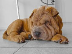 Chinese Shar-Pei Dogs