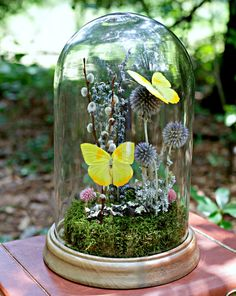 Butterfly Dome Display Kit Yellow Phoebis by TheAmateurNaturalist