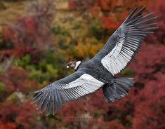 Condor Des Andes, Andean Condor, University Of Montana, Ocean Tattoos, Eagle Tattoos, Mundo Animal, Birds Of Prey, Fauna, Patagonia