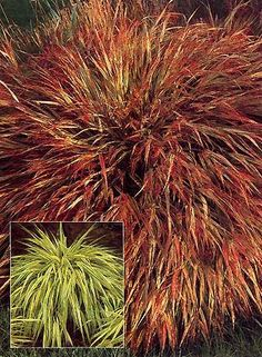 carex bronze reflection | grasses, Garten dekoo