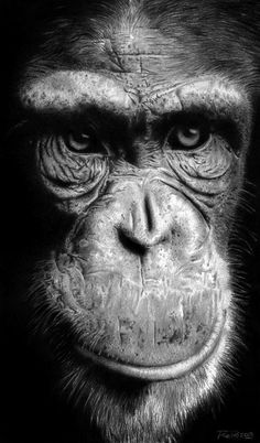 Chimpance by raulrk.deviantart.com on @DeviantArt Macro Photography, Animal Photography, Arte Banksy, Pencil Drawings Of Animals, Monkey Art, Jungle Animals, Black And White Photography, Wildlife, Deviantart