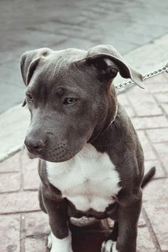 Pit Bull cute animals eyes dogs grey bull pit bullie breed Check out a some of our Featured Bully Breeds we Love! Cute Puppies, Cute Dogs, Dogs And Puppies, Doggies, Pit Bull Puppies, Blue Pit Puppies, Animals And Pets, Baby Animals, Cute Animals