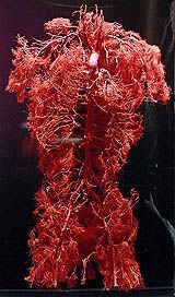An inner body experience Primary Science, Circulatory System, Human Anatomy, Body Works, Human Body, Biology, Nursing, Design Inspiration, Medical