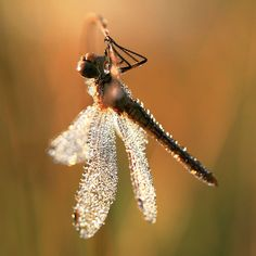 dragonfly with morning dew Beautiful Bugs, Amazing Nature, Animals Beautiful, Beautiful Things, Dragonfly Art, Dragonfly Painting, A Bug's Life, Bugs And Insects, Nature Animals