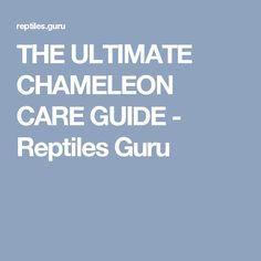 THE ULTIMATE CHAMELEON CARE GUIDE - Reptiles Guru