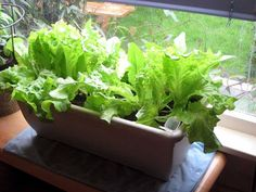 6 Vegetables That You Can Grow Indoors!  - Tomatoes  - Radishes  - Potatoes  - Mushrooms  - Beans  - Salad Greens (Pictured)