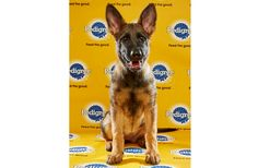 Meet Brooklyn! She is one of several herding breed dogs in the starting lineup for this Sunday's Puppy Bowl on Animal Planet! Brooklyn is a 13-week-old German Shepherd from the Canine Companions Rescue Center. Good luck on Sunday, Brooklyn!