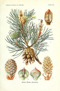 pinus silvestris, Scots pine - high resolution image from old book. Botanical Flowers, Flowers Nature, Botanical Art, Vintage Botanical Prints, Botanical Drawings, Plant Illustration, Watercolor Illustration, Blackout Tattoo, Flora Und Fauna
