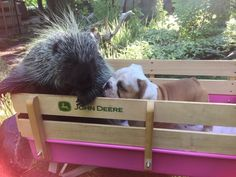 Rescued Porcupine Takes Her New Puppy Brother On Wagon Rides
