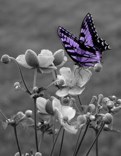 Black and White Purple Butterfly On Flower Wall Art Matted Picture