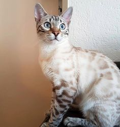 Most recent Free Bengal Cats toys Concepts Primary, when it comes to exactly what serves as a Bengal cat. Bengal felines can be a pedigree breed of dog t. White Bengal Cat, Bengal Cat For Sale, Cats For Sale, Bengal Cats, Baby Cats, Cats And Kittens, Cats 101, Ragdoll Kittens, Funny Kittens