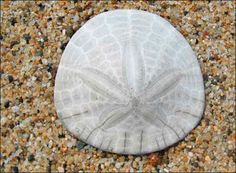 Puget Sound: The Wonderful Sand Dollar    West Coast