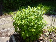 I am - laughably - going to try to grow some herbs this year - this one is Lemon Balm. Theoretically, they are for cooking, but realistically, they are to help shoo away mosquitos and ants. Best Mosquito Repellent, Mosquito Repelling Plants, Growing Mint, Best Perennials, Light Blue Flowers, Free Plants, Lemon Balm, Plantar, Natural Home Remedies